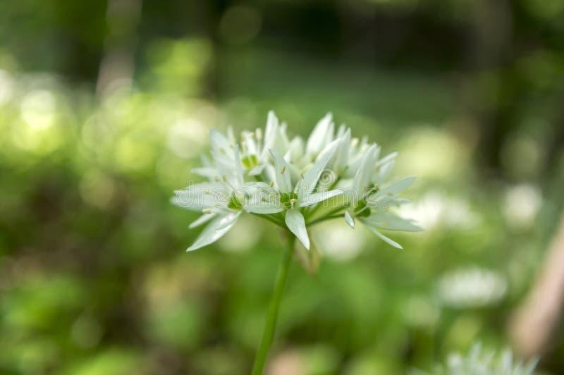 Alho do ` s do urso do ursinum do Allium na flor, luz solar fotografia de stock royalty free