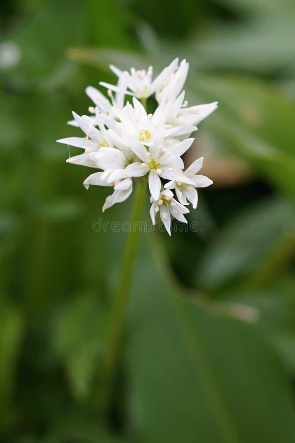 Alho do urso ou alho selvagem (ursinum do Allium) foto de stock