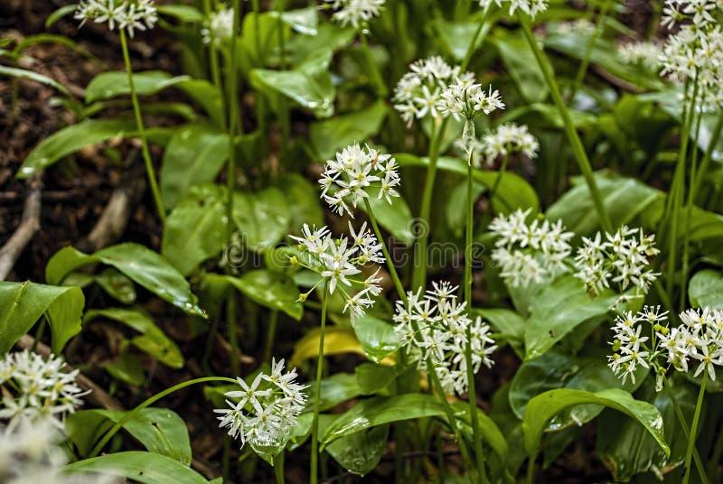 Alho selvagem - ursinum do allium, ervas Alho selvagem na floresta imagem de stock