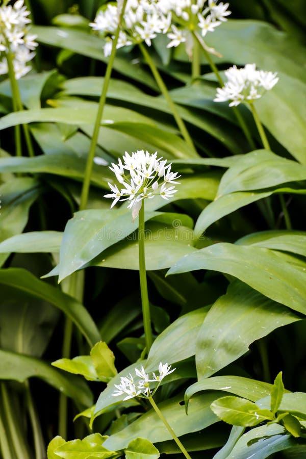 Alho selvagem, ursinum do Allium, flor na mola, Baviera, Alemanha, Europa imagem de stock