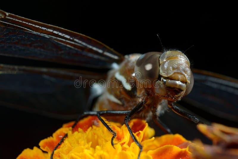 Ali aperte del fiore arancio della libellula fotografia stock libera da diritti