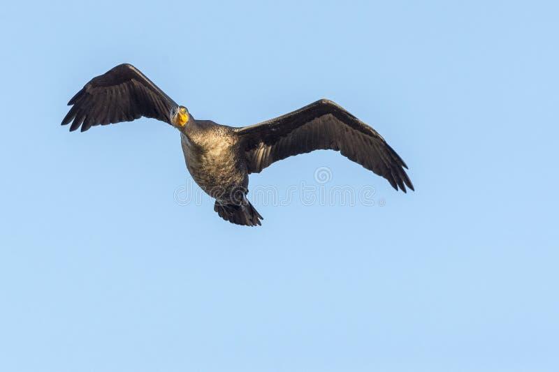 Ali del cormorano a doppia cresta su che guardano avanti fotografie stock