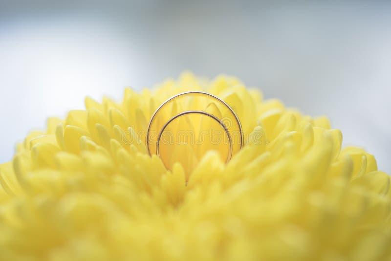 Alianças de casamento em um close-up amarelo do crisântemo foto de stock
