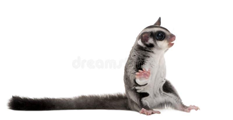 Aliante dello zucchero - breviceps del Petaurus fotografia stock