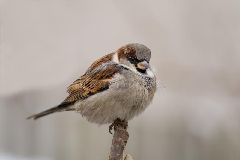 alias tła grey przechodnia sparrow domesticus fotografia royalty free