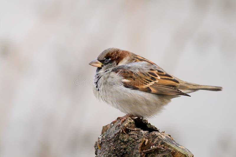alias tła grey przechodnia sparrow domesticus obrazy stock