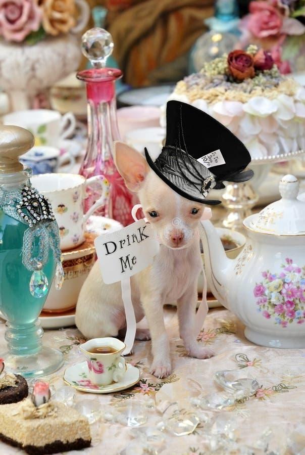 Alice na chihuahua de Teaparty do país das maravilhas imagens de stock royalty free