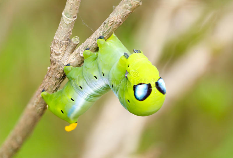 Alien caterpillar. A caterpillar with false eyes looking like Alien. The purpose is to scare predators away stock photos