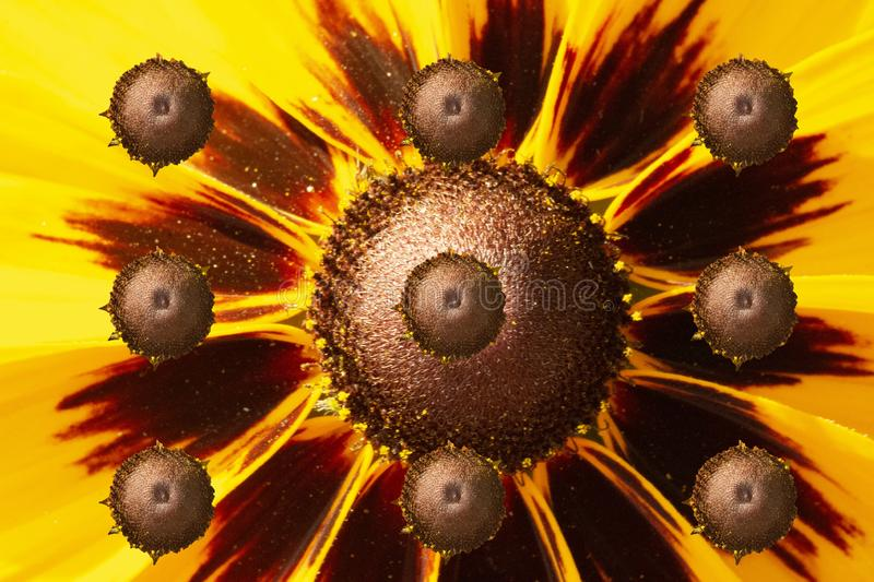 Alien Suns  -Abstract Of The Flower Heads Of Rudbeckia In Sunlight royalty free stock photography