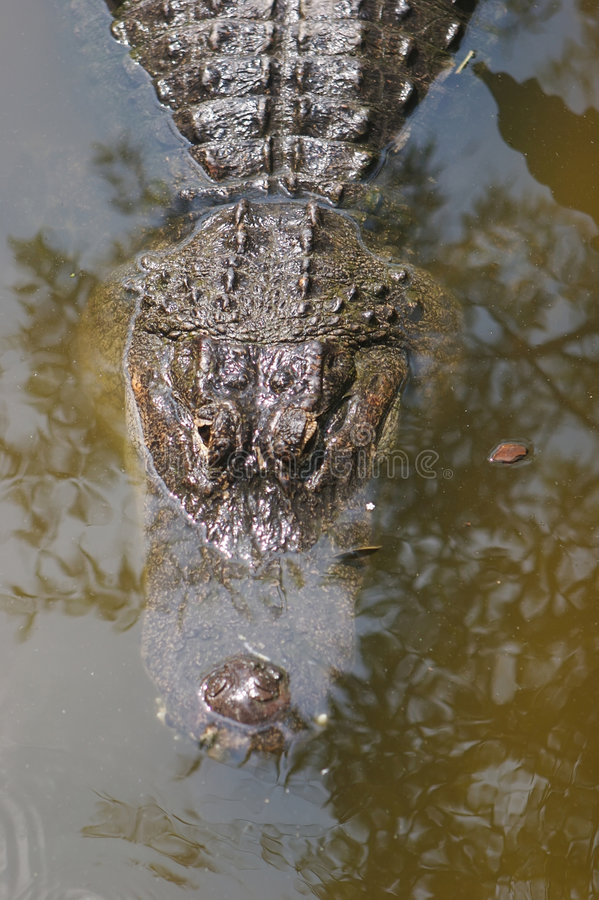 aligator佛罗里达地产沼泽 免版税库存照片