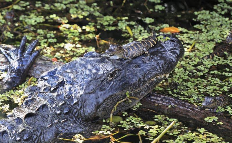 Aligator和他的婴孩在大沼泽地国家公园 免版税库存图片
