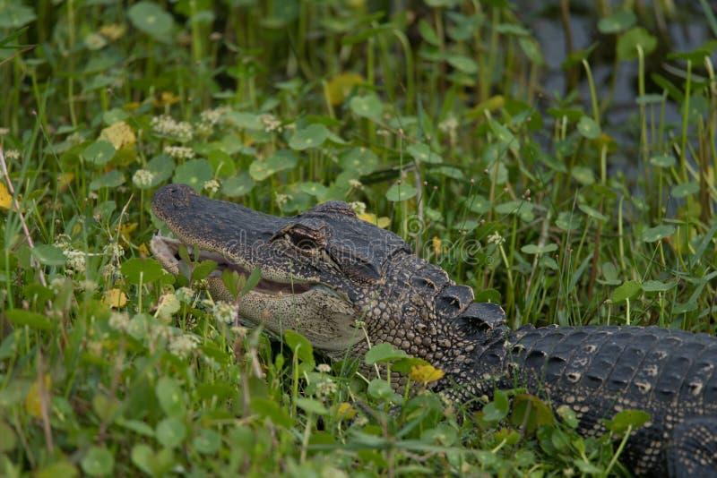 年轻Aligator在沼泽地 图库摄影