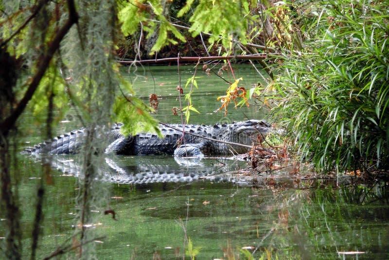 Aligator在沼泽庭院里在北卡罗来纳 免版税图库摄影