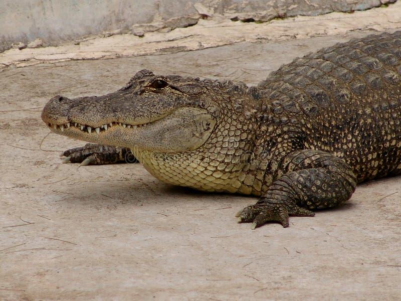 aligator стоковое изображение rf