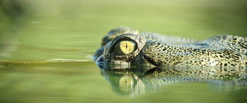 aligator 免版税库存照片