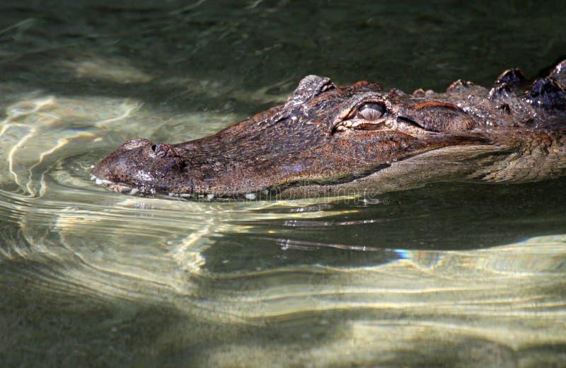 Aligator. American aligator close up portrait in clear water stock photo