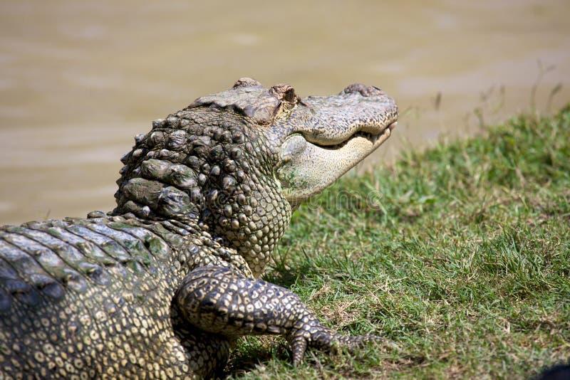 aligator fotografia stock