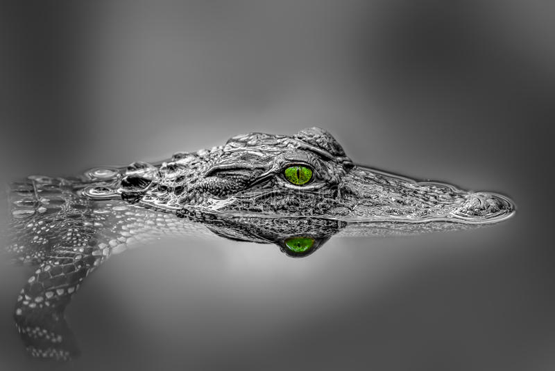 Aligator 免版税图库摄影