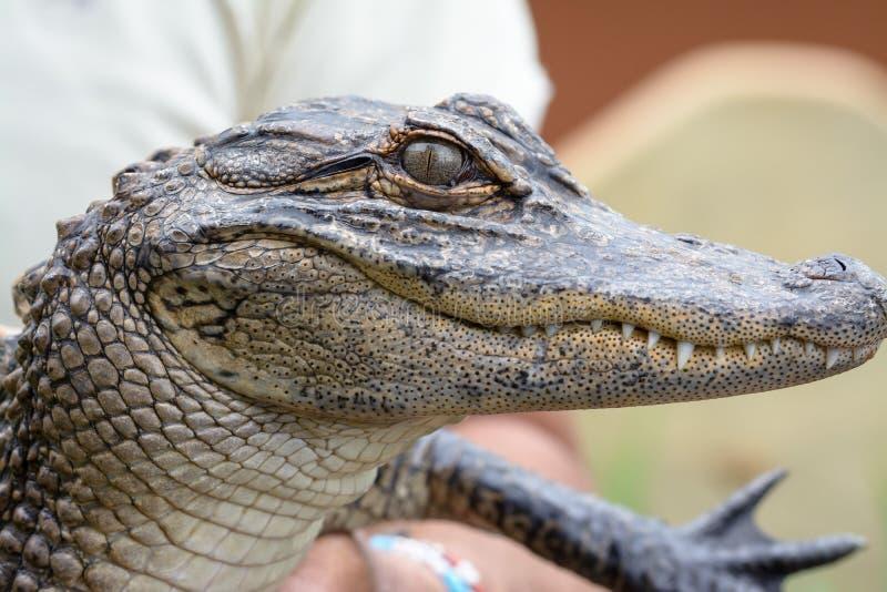 年轻aligator 免版税库存图片