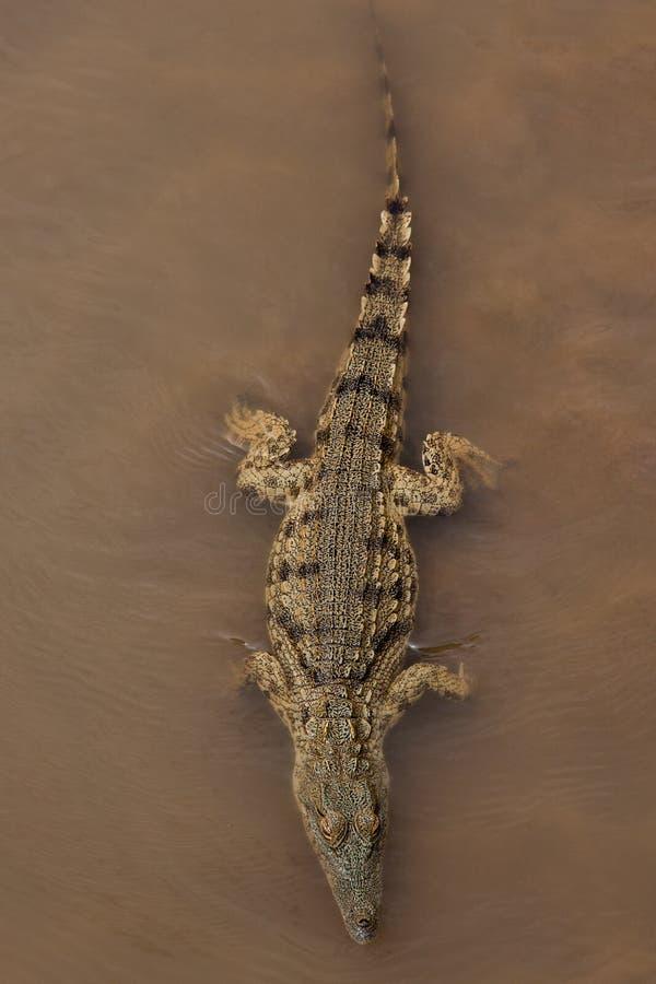 Aligator 库存照片