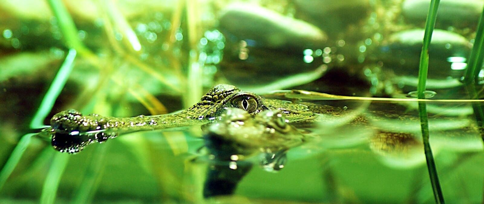 Aligator. Alligators move on land by two forms of locomotion referred to as `sprawl` and `high walk`. The sprawl is a forward movement with the belly making royalty free stock images