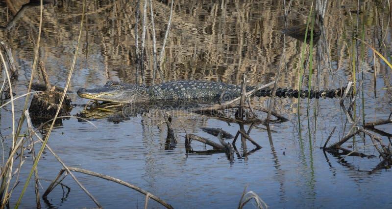 Aligator bierze słońce i odpoczywać zdjęcia royalty free