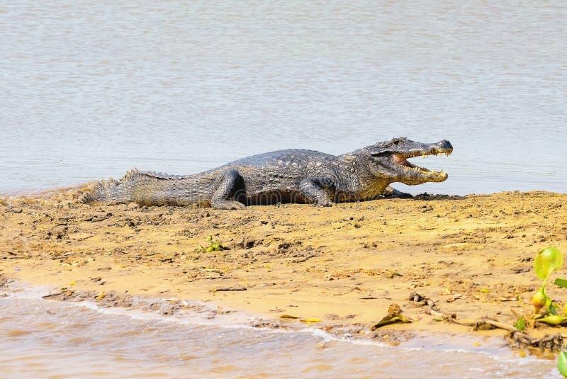 Aligator bierze sunbath na ławicy na marginesach riv obraz royalty free