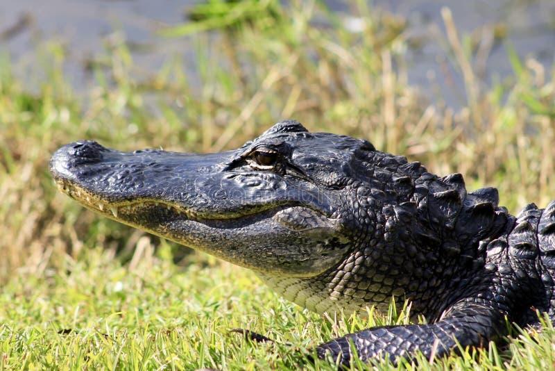 Aligator chłodzi w słońcu obrazy stock
