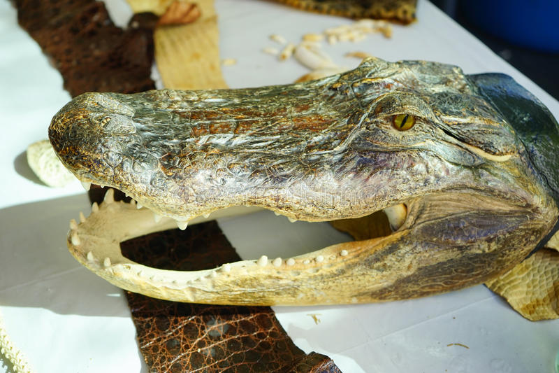 Aligator czaszka zdjęcie royalty free