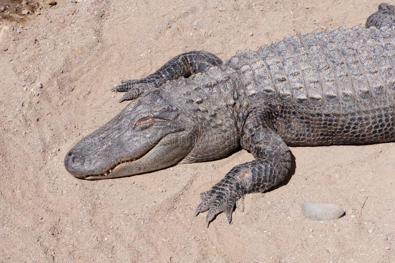 Aligator royalty free stock image