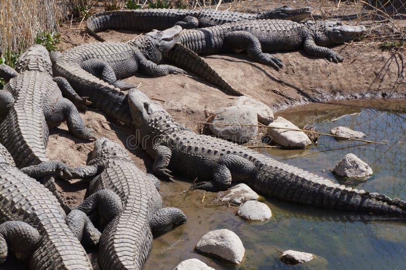 Aligator royalty free stock images