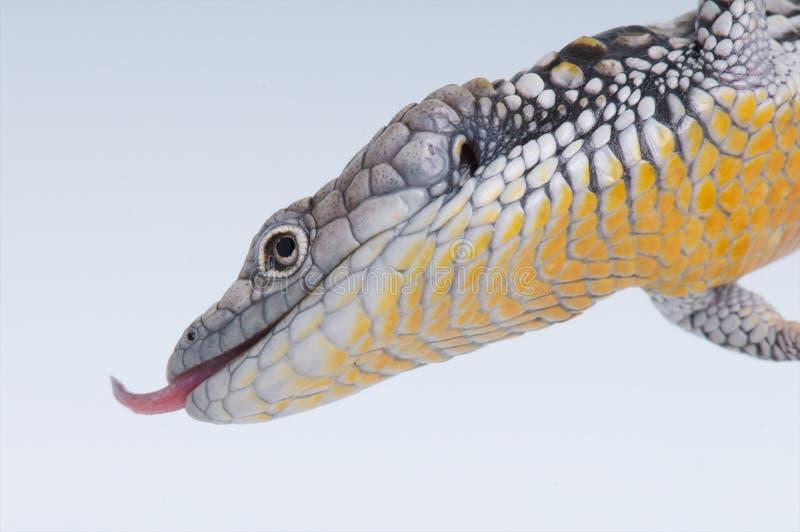 aligator jaszczurka obraz stock