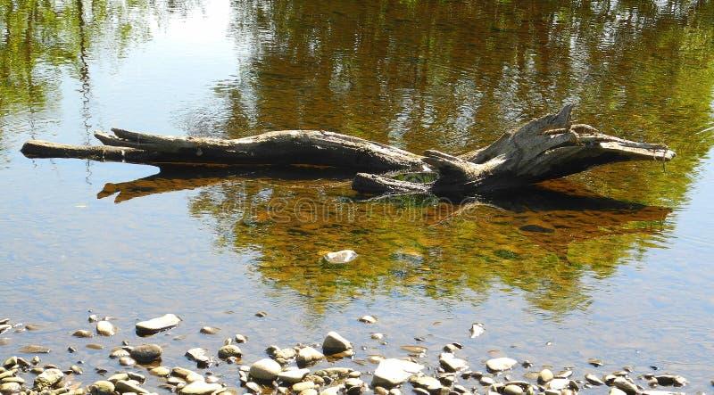 Aligator, krokodyl, dinosaur lub stara bela? obrazy stock