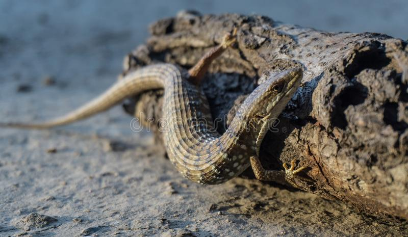Aligator Lizard royalty free stock photo