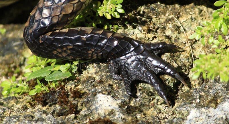 Aligator stopa i noga fotografia royalty free