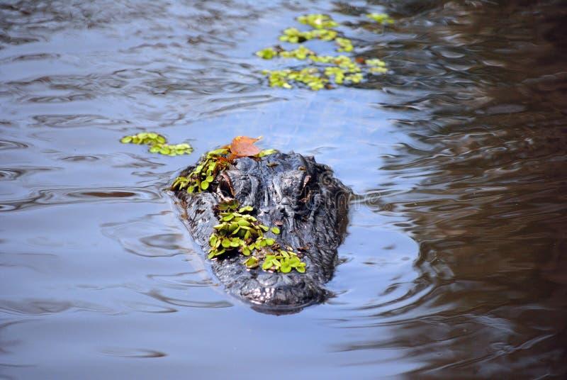 Aligator in the swamp stock photo