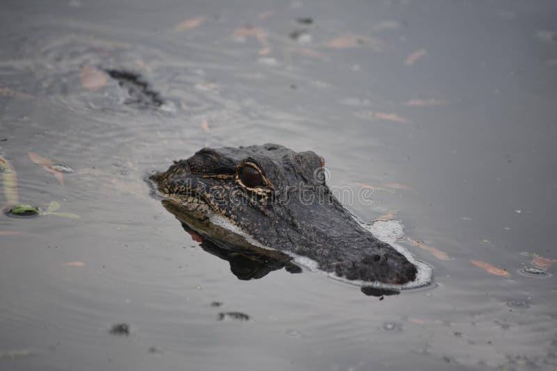 Aligator Trolling Bagienne zalewisko wody w Luizjana fotografia royalty free