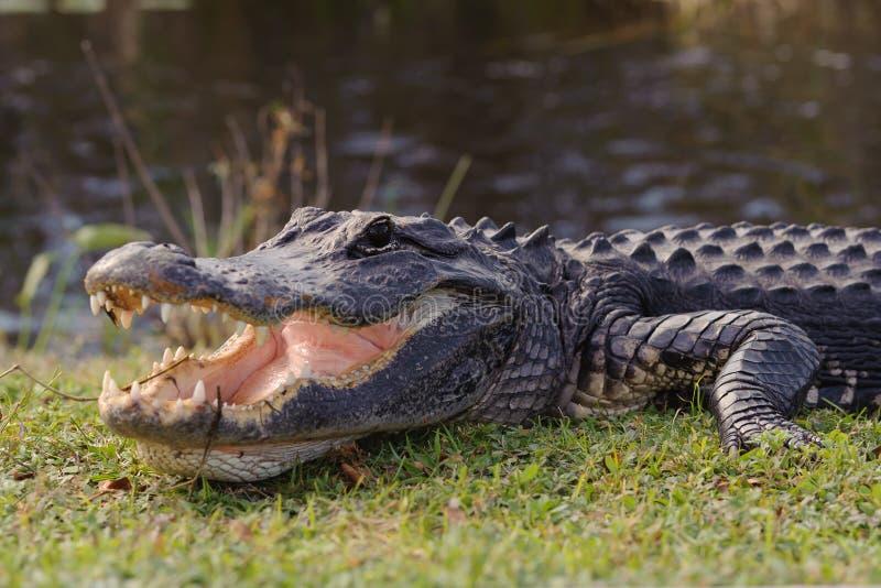 Aligator w błota parku zdjęcia stock