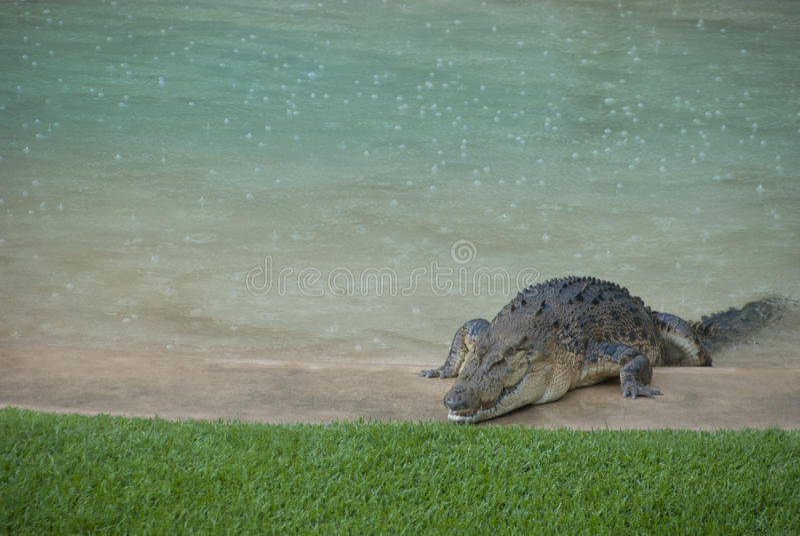 Download Aligator W Podwórka Basenie Zdjęcie Stock - Obraz złożonej z amfibia, zwierzę: 28955354