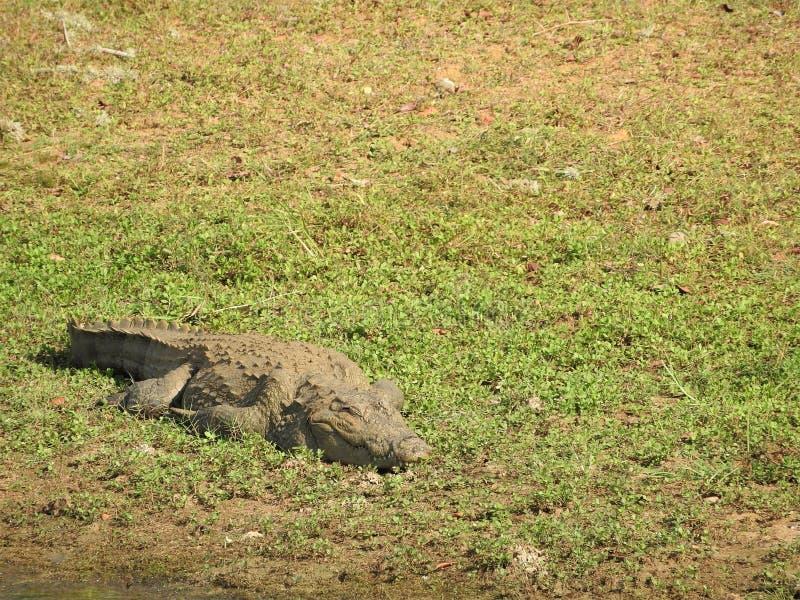 Aligator w Yala parku narodowym na wyspie Sri Lanka fotografia royalty free