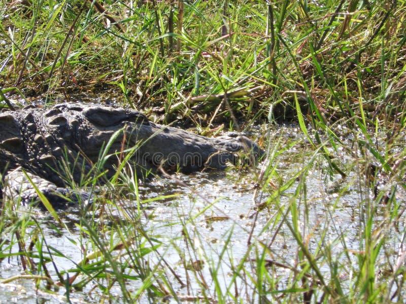 Aligator w Yala parku narodowym na wyspie Sri Lanka obrazy royalty free