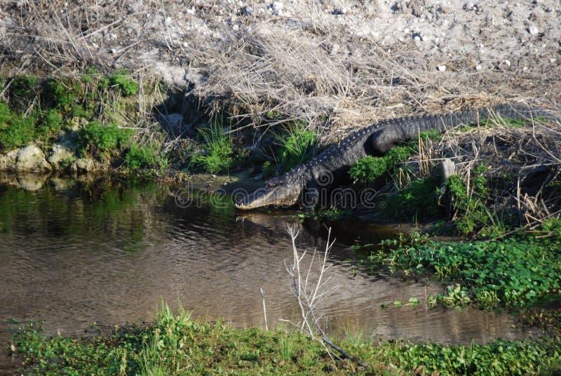 aligator wchodzić do wodę obraz stock