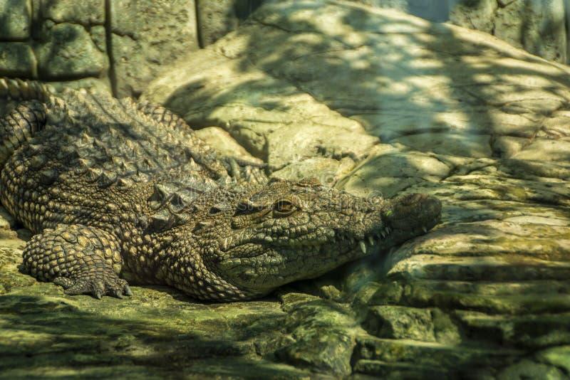 Aligator wygrzewa się na ciepłych kamieniach w słońcu zdjęcie royalty free