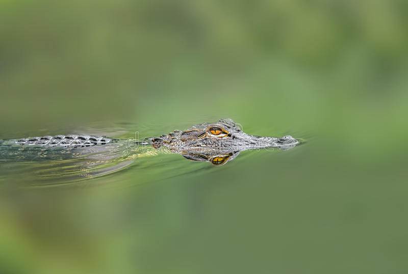 Download Aligator stock photo. Image of crocodile, niloticus, predator - 45652094