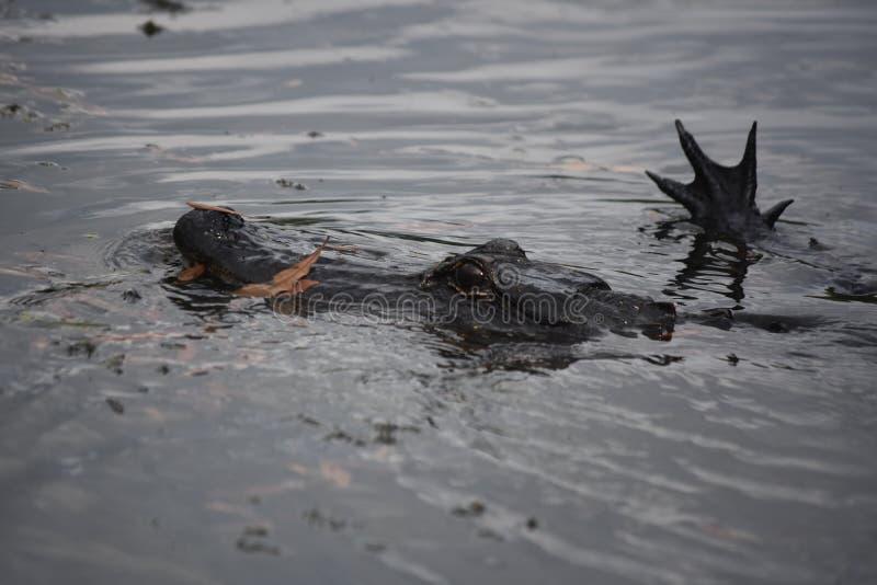 Aligator z Jego stopą Z wody w zalewisku zdjęcie royalty free