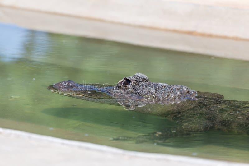 Aligator Zanurzający w wodzie fotografia stock