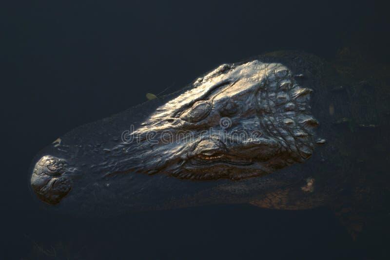 aligator zanurzający zdjęcia stock