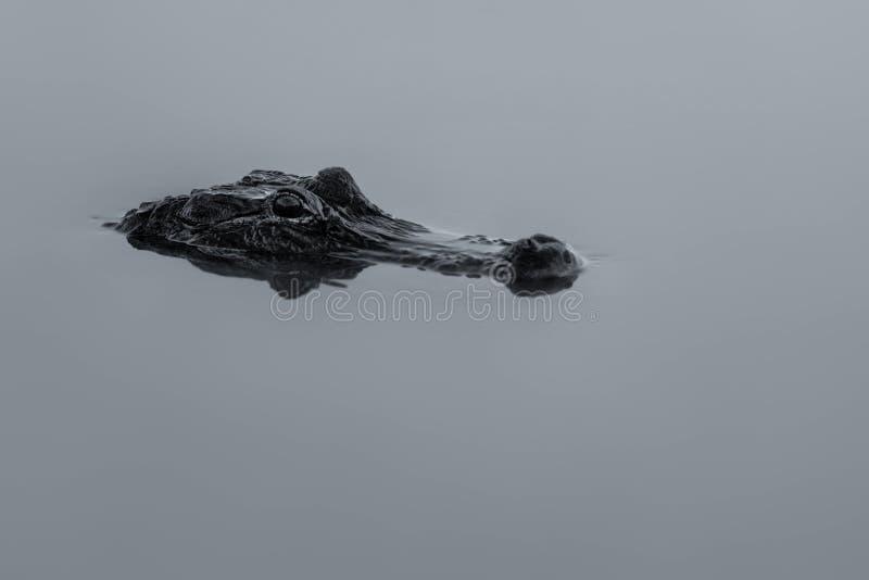 Aligator zanurzający w bagnie obraz stock