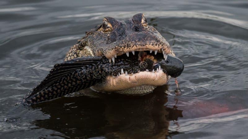 Aligatora łasowanie w wodzie fotografia stock
