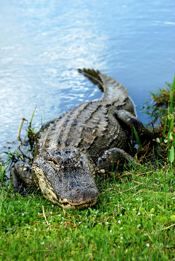aligatora amerykanina target1305_0_ obraz stock
